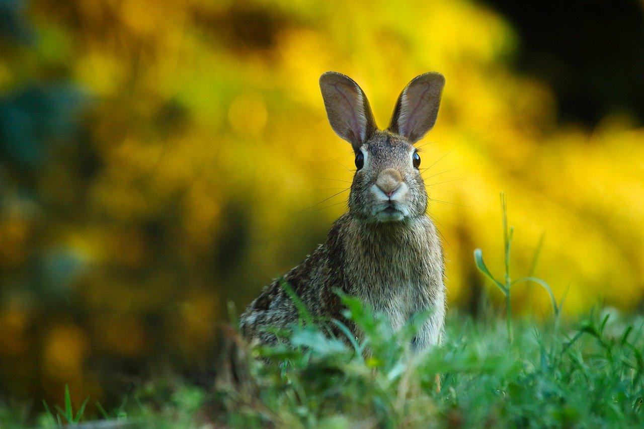 diferencia entre conejos y liebres